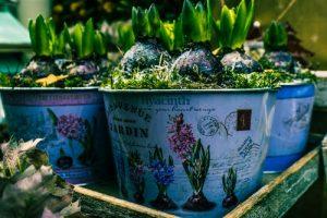 Growing bulbs-flowery pots-tray