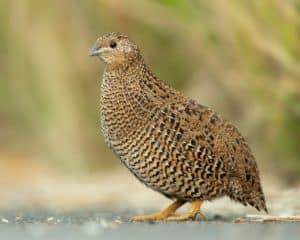 Fresh quails' eggs 1
